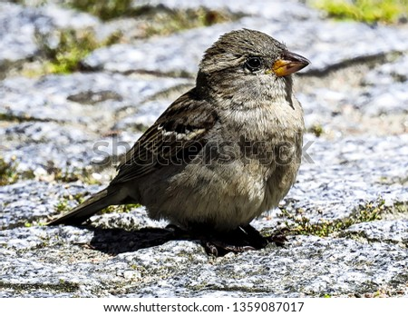 Small and delicate sparrow, Asian sparrow in park, House sparrow (Passer domesticus) family sparrows (Passeridae) #1359087017