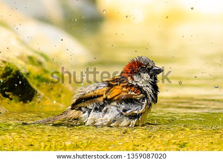 Small and delicate sparrow, Asian sparrow in park, House sparrow (Passer domesticus) family sparrows (Passeridae) #1359087020