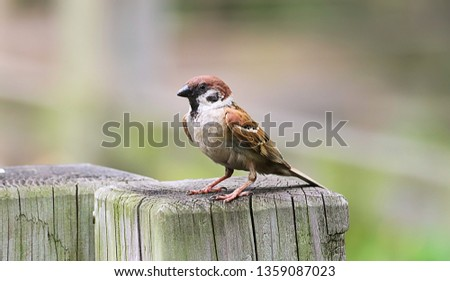 Small and delicate sparrow, Asian sparrow in park, House sparrow (Passer domesticus) family sparrows (Passeridae) #1359087023