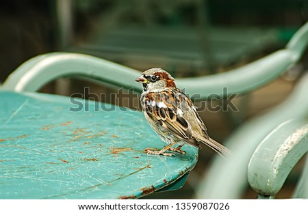 Small and delicate sparrow, Asian sparrow in park, House sparrow (Passer domesticus) family sparrows (Passeridae) #1359087026