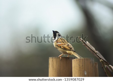 Small and delicate sparrow, Asian sparrow in park, House sparrow (Passer domesticus) family sparrows (Passeridae) #1359087029