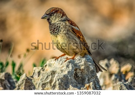 Small and delicate sparrow, Asian sparrow in park, House sparrow (Passer domesticus) family sparrows (Passeridae) #1359087032