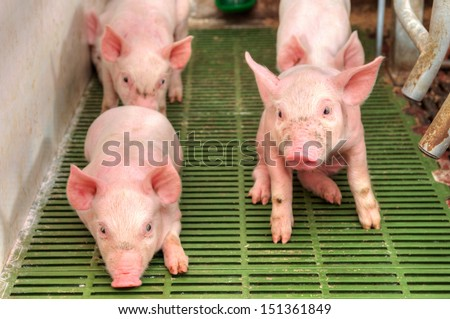 Small and funny pink piglet in a pigpen