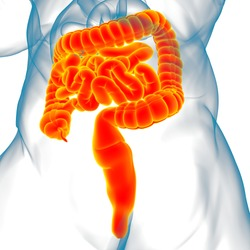 Small and Large Intestine 3D Illustration Human Digestive System Anatomy For Medical Concept