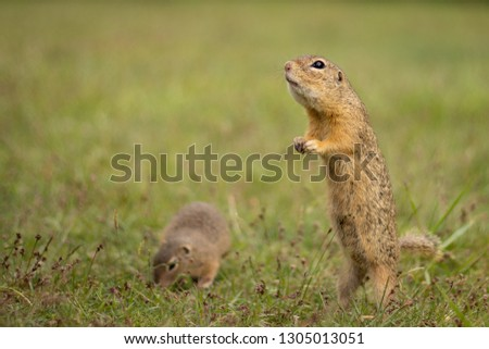 Small and lovely ground squirrel on a meadow among flowers during warm spring sunset. Peaceful, relaxing, amazing and funny animal.