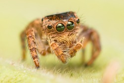 Small and tiny white and brownish jumping spider (Carrhotus sp.) crawling on a green leaf isolated with blur and smooth green background