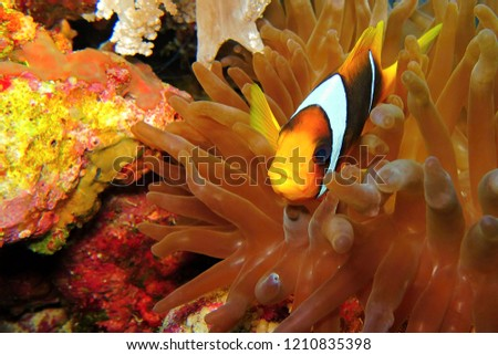Small anemone fish - Amphiprion - in orange anemone. Underwater picture from scuba diving.  Tropical fish on the colorful coral reef.