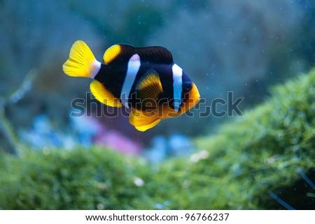 Small anemonefish in the aquarium