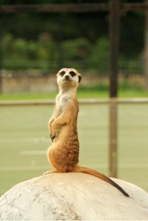 small animal meerkat costs on a stone