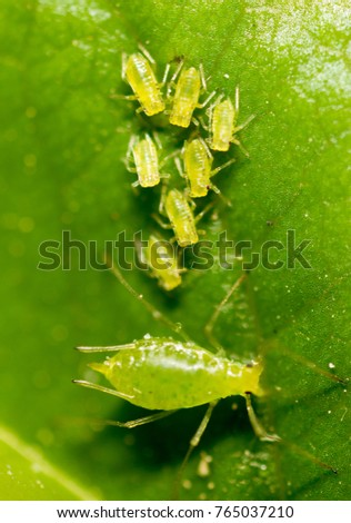 small aphid on a green leaf in the open air