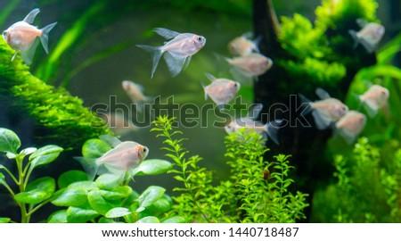 Small aquarium fish in the aquarium. Pets. #1440718487
