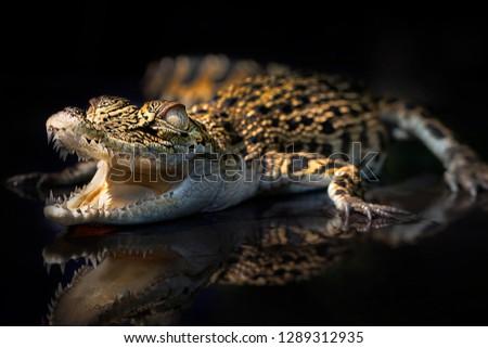 Small Baby Crocodile 2001028 - Exotic Reptile Animal Photo Collection