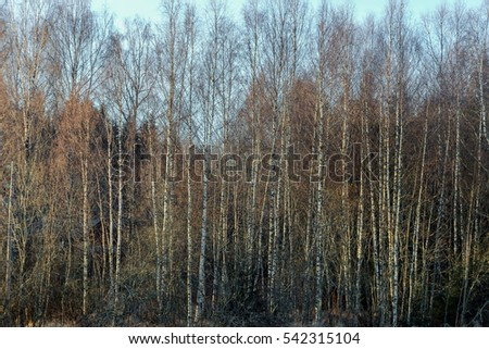 small bald trees forest at autumn