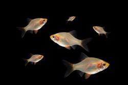 small barb fish isolated on balck background