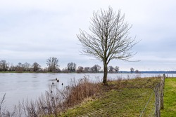Small bare tree on the bank of the Maas river on sparse green grass, a fence with barbed wire with bare trees in the background, cloudy day in Geulle in South Limburg, Netherlands