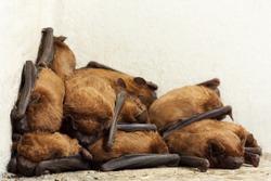 Small bat (Pipistrellus) colony sleeping in the corner of a balcony