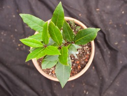 Small Bay Laurel Shrub Laurus nobilis Growing in a Small Clay Pot at a Countryside Farm in Central Europe