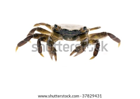 Small beach  crab facing the camera - white shell - stock photo
