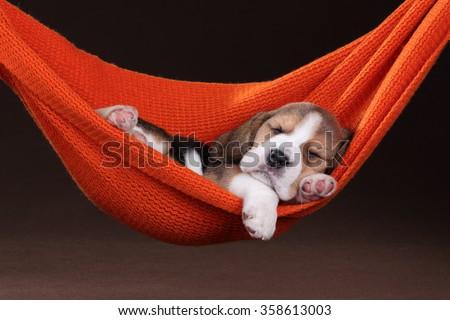 Small beagle puppy sleeping in a hammock