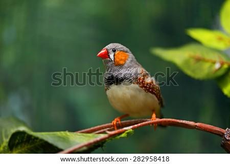 Small beautiful birds of the African savanna