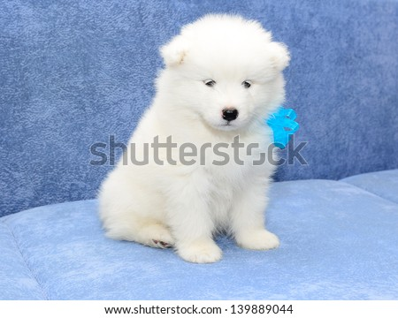Small beautiful cheerful funny white Samoyed husky puppy is sitting together on a blue sofa