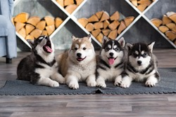 small beautiful dogs husky puppies in the photo Studio