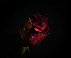 Small beautiful red rose photographed on a black background. a great elegant gift for a day of swings that promotes love