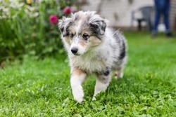 Small beautiful shetland sheepdog sheltie puppy in countryside garden. Photo taken in Europe, Latvia.