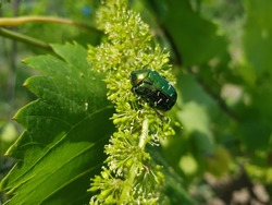 Small beetle crawling on a vine leaf. Bright green leaves background. Summer time period. Nature concept