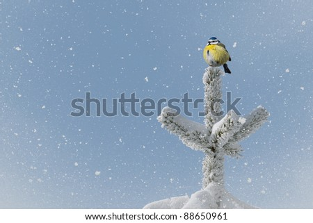 small bird (blue tit) on tree top in winter time