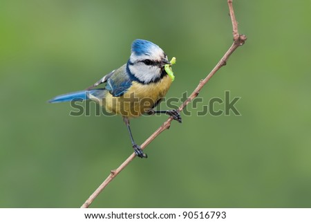 small bird (blue tit) with a caterpillar prey