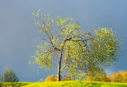 Small bird cherry tree with buds and blossoms in bright sunshine on moody blue sky