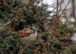 small bird handsome sparrow,bird house
