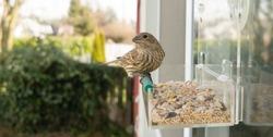 Small bird looks back between feeding on a window mounted feeder