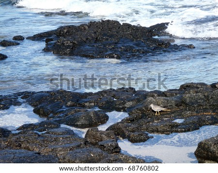 Small Bird, Pacific Golden Plover, wave looks for food in the lava rock tides on Baby Maka'Pua beach.