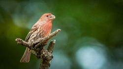 Small bird posing on a twig with blur background, Mexican finch, Mexican bird