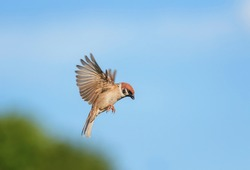 small bird Sparrow flies in a summer Sunny garden on the background blue sky
