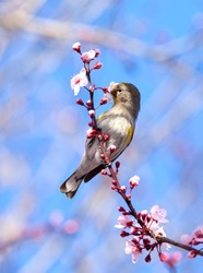 Small bird, yellow rumped Warbler, sitting on a cherry tree branch