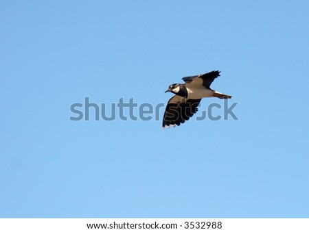 Small black and white bird flying against blue sky