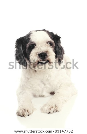 Small black and white dog. - stock photo
