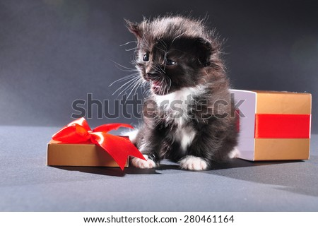 Small black and white kitten with white fluffy whiskers just came out of present box. Isolated on dark background. Studio shot.