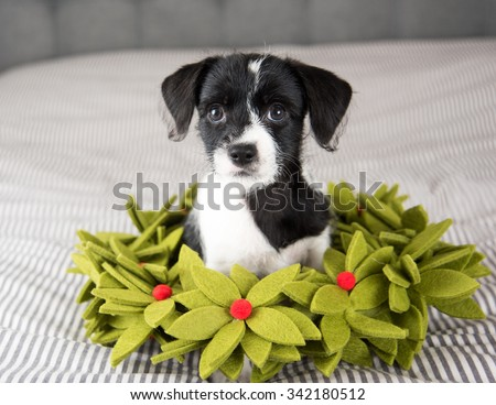 Small Black and White Terrier Mix Puppy Sitting in Christmas Wreath