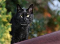 Small black cat hunting birds in urban garden. UK.