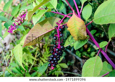 Small black fruits of Phytolacca plant, also known as pokebush, pokeberry, pokeroot or poke sallet and green leaves in a garden in a sunny autumn day, beautiful outdoor floral background Stock photo ©