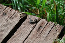 Small black lizard on a wooden bench
