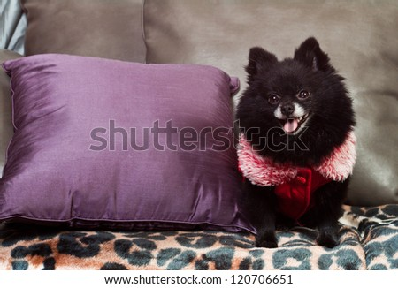small black pomeranian sitting on the couch with a winter vest