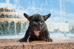 Small black puppy of french bulldog is on the stone with fountain