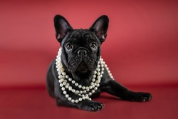 Small black puppy of french bulldog on red background in studio. Little dog with white perl beads