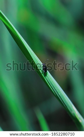Small bloody-nosed beetle (Timarcha goettingensis) on green grass. A flightless beetle in the family Chrysomelidae, the leaf and seed beetles.  Foto stock ©
