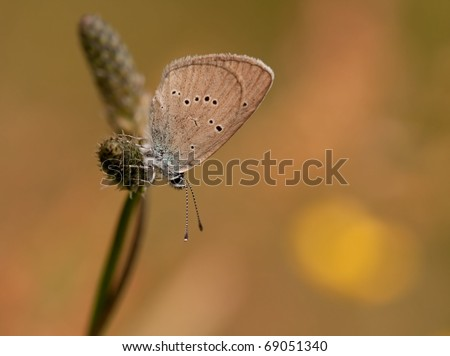 Small Blue Butterfly - Cupido minimus butterfly with an awesome background and great colours
